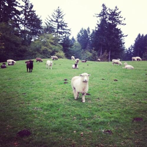 Wool Breed Study - Multi Breed Packs