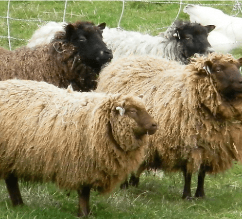 Wool ~ Breed Study