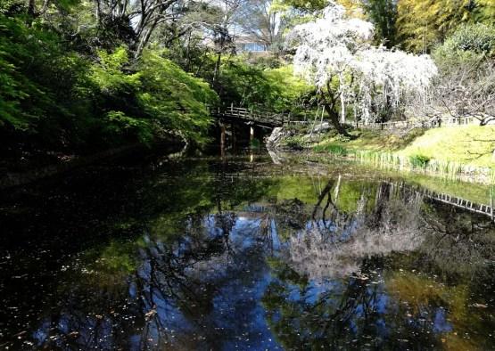 日本庭園、池に綺麗に映った枝垂桜