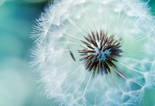 Blue Dandelions #6