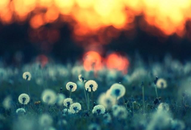 Blue Dandelions #7