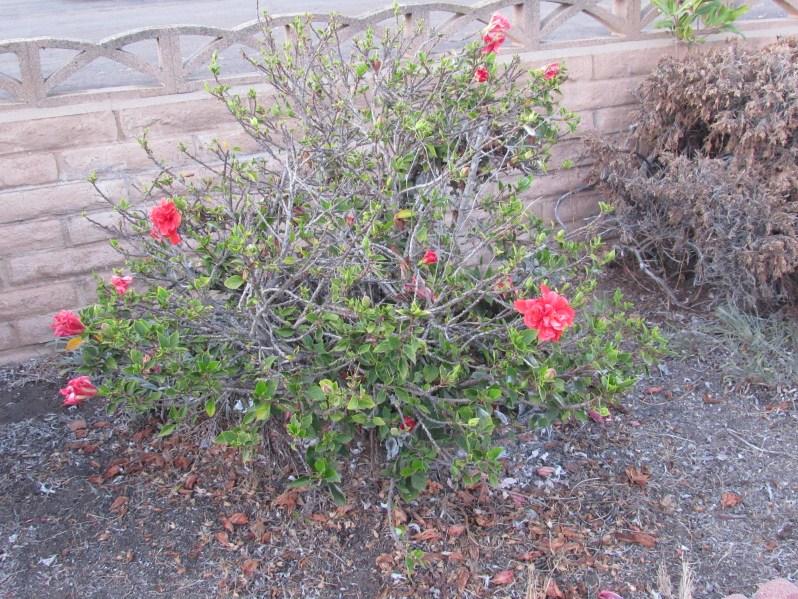 Pink flowers on shrub