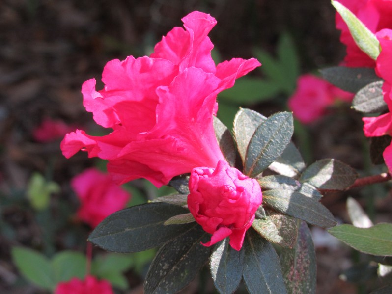 Spring Azalea
