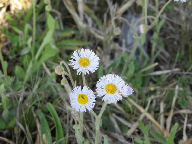 salt marsh wildflower