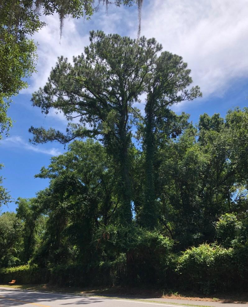 Tall Pine
