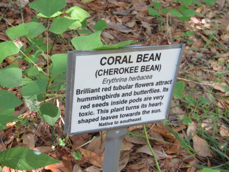 Coral bean flowers