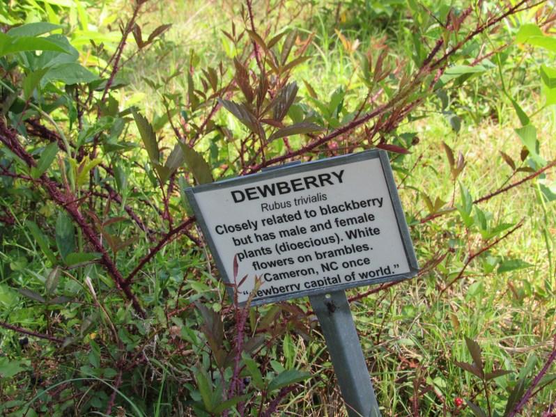 Dewberry information