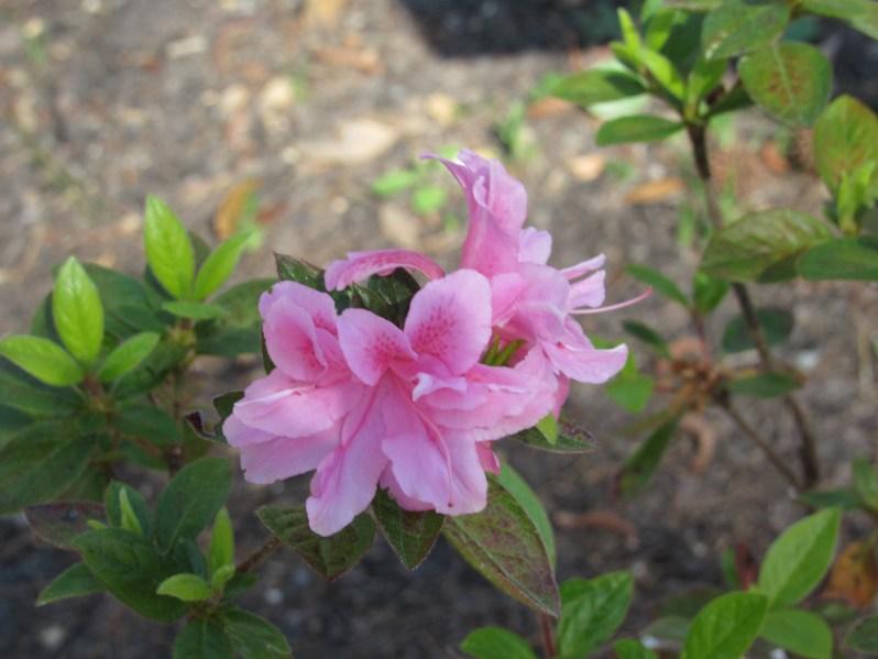 Pink Azalea