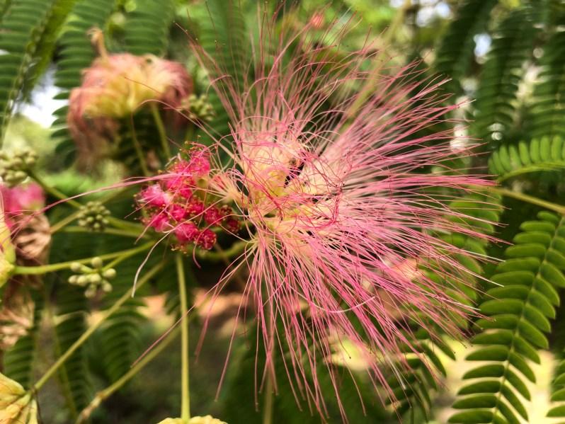 pink flowering mimosa