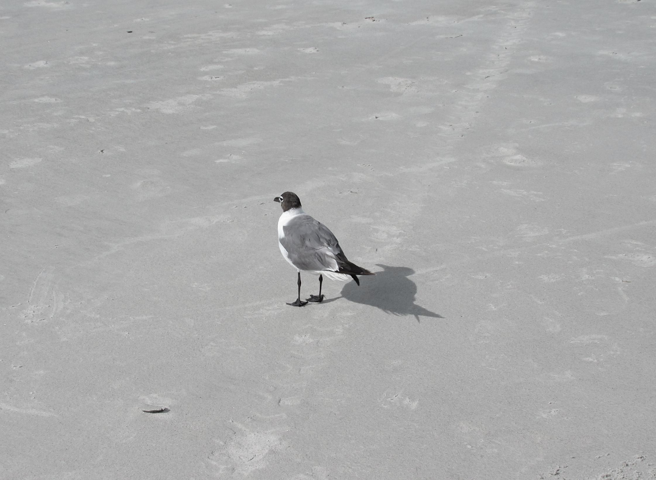 Seagull shadow