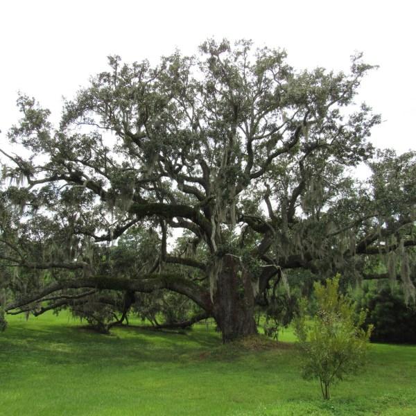Aged oak tree