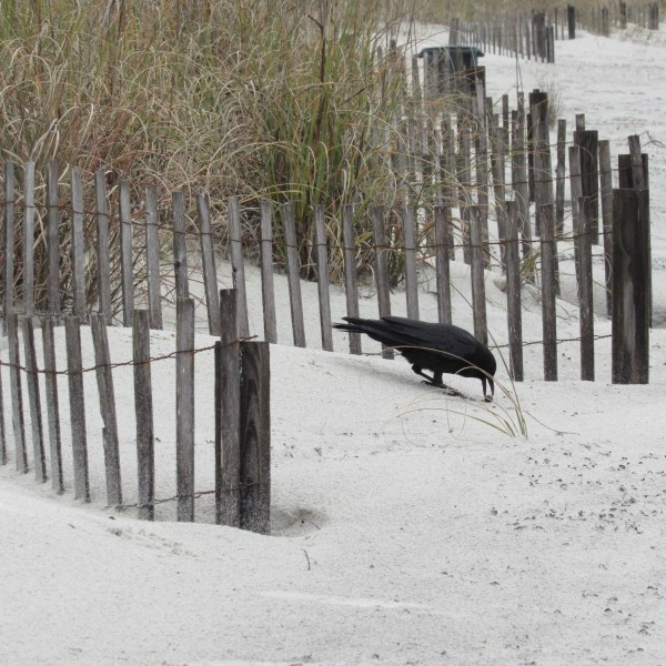 Blackbird on the sand dune