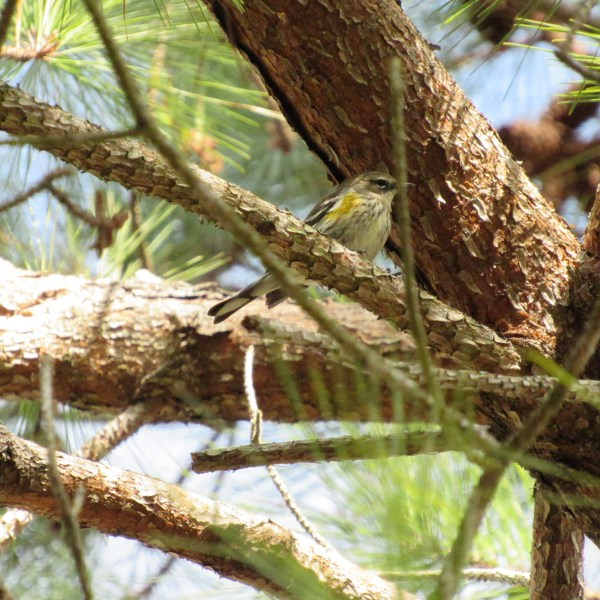 Bird in a pine tree