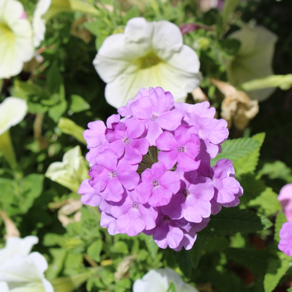 Sun loving violet flower