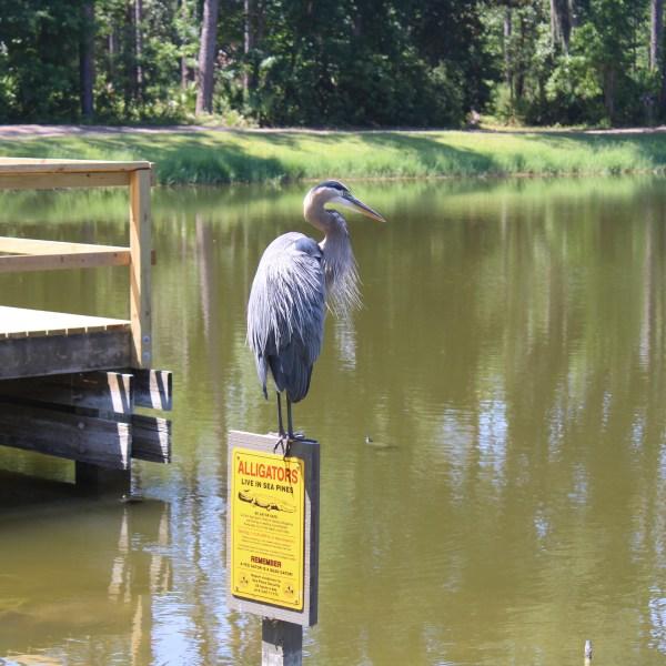 Heron at Lake Joe