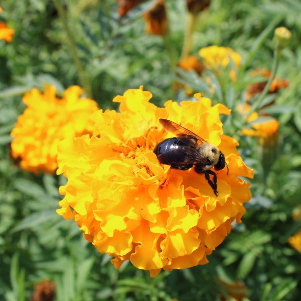Bee on the Mums