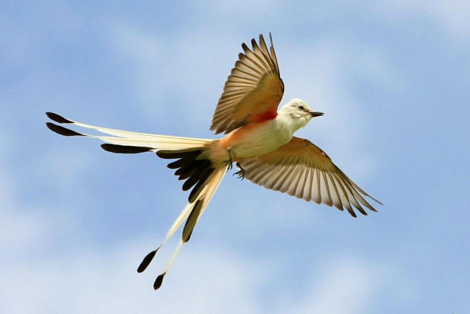 scissortail flycatcher