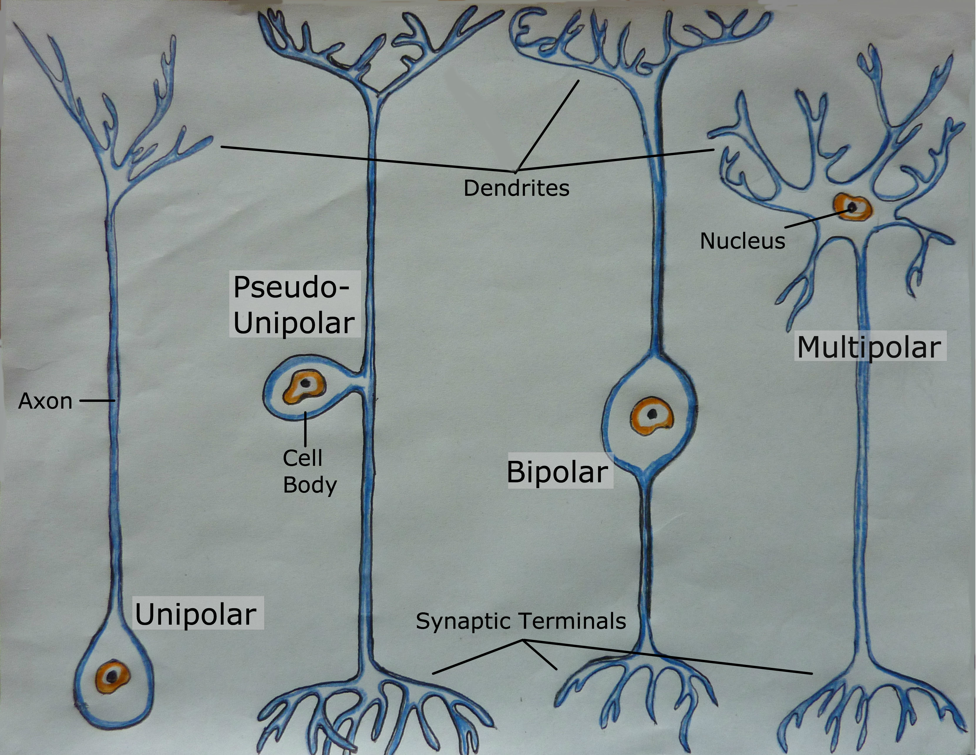 Types Of Neurons The Addictive Brain