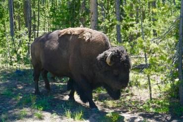 Buffalo Cruising by the Vehicle