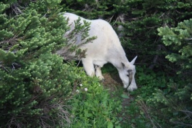 One-horned mtn. goat