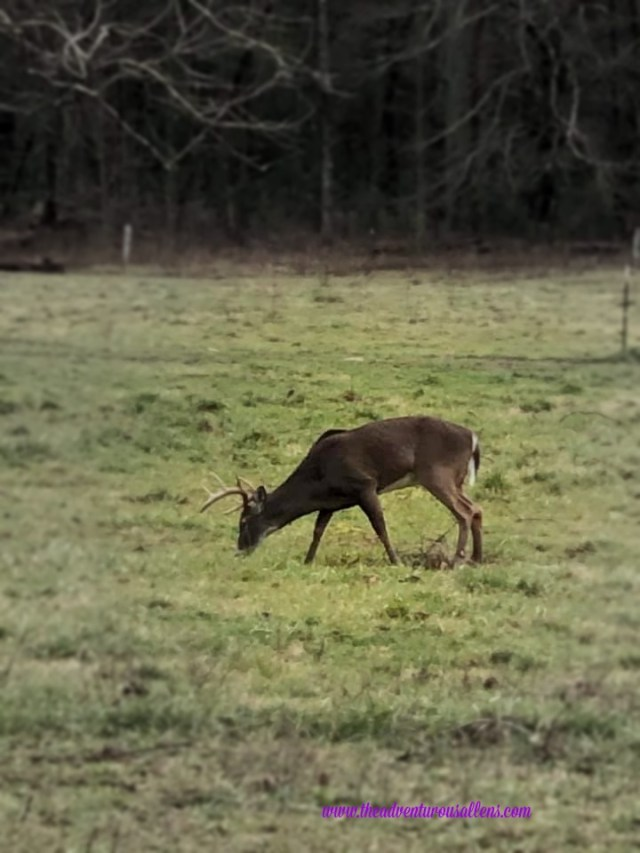 Buck grazing in Cades Cove