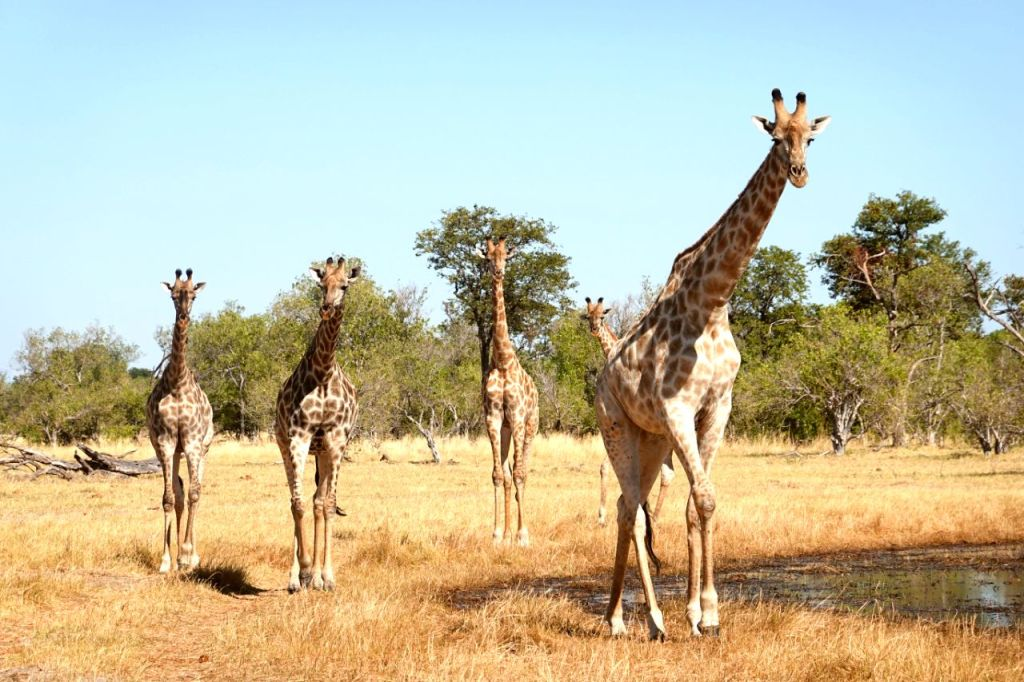 moremi game reserve should be added to your self drive Botswana Itinerary to see the best wildlife