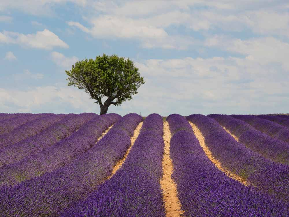 Lavender Fields of Provence are some f the famous landmarks in France