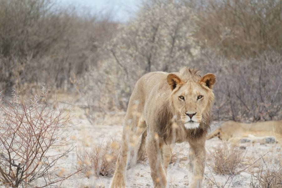 Kgalagadi Transfrontier Park is one of the best game reserves in Botswana