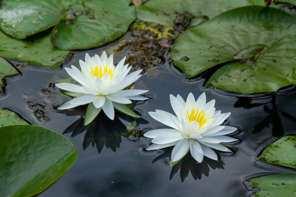 lily blooms