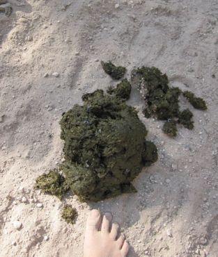 north kaibab mule poop