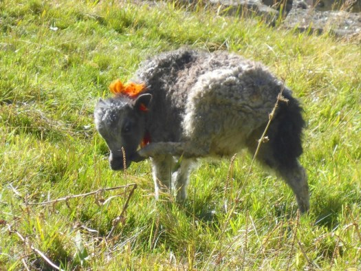 Baby Yak with bow, Manang Nepal