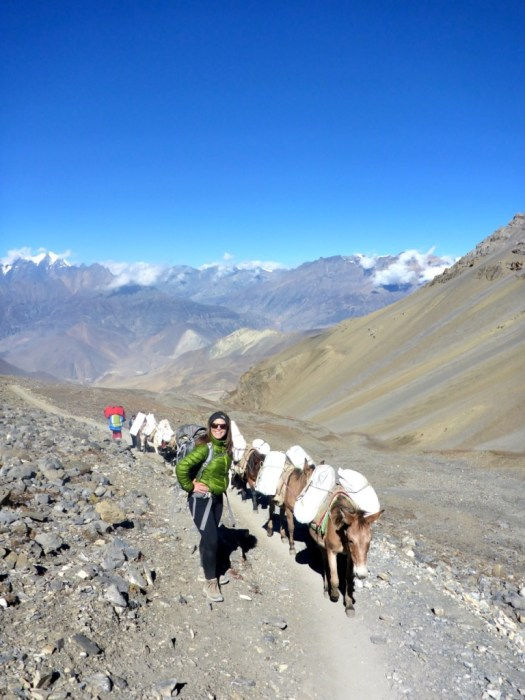 Mules going up Thorong La Pass Annapurna Circuit Nepal