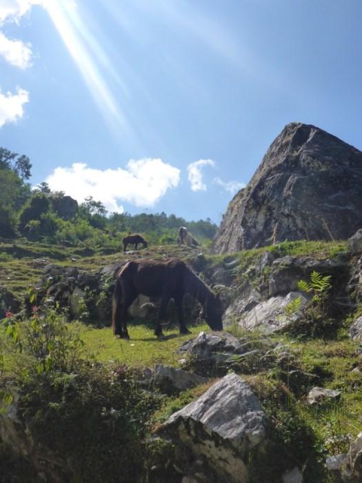 Nepali Horses