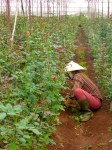 Flower Farm - Dalat, Vietnam