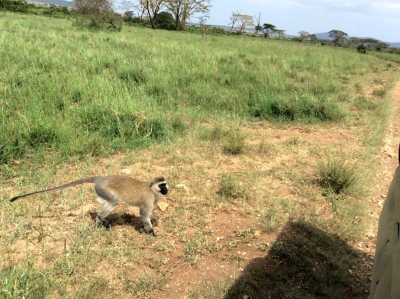 Monkey - Serengeti National Park, Tanzania