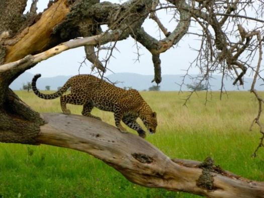 Leapord Serengeti National Park, Tanzania