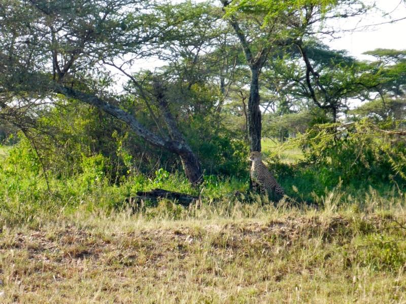 Cheetah Serengeti National Park, Tanzania