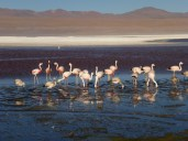 Flamingos Laguna Colorada