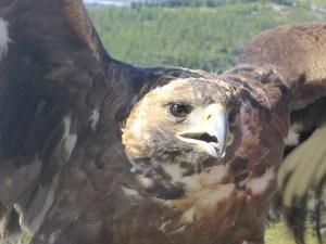 Eagle in Western Mongolia