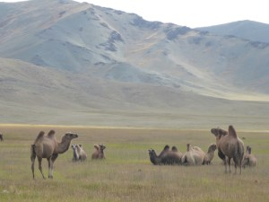 2 hump Bactrian Camels; Mongolia