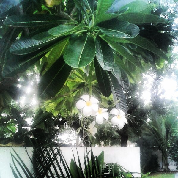 Frangipani or Champa | creating a tropical paradise in your garden