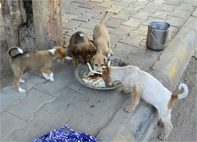 Feeding street dogs is the solution to many 'problems'. It reduces suspicion, it augments trust, you earn their love and loyalty. And most importantly, it becomes easier to catch the dogs for the purpose of animal birth control.