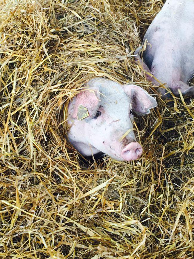 Mine absolutt favoritt-griser er de som lager seg små huler i høyet.