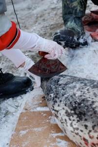 butchering seals