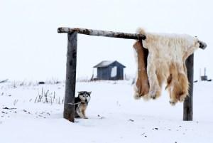 The Alaska Teacher- Polar Bears