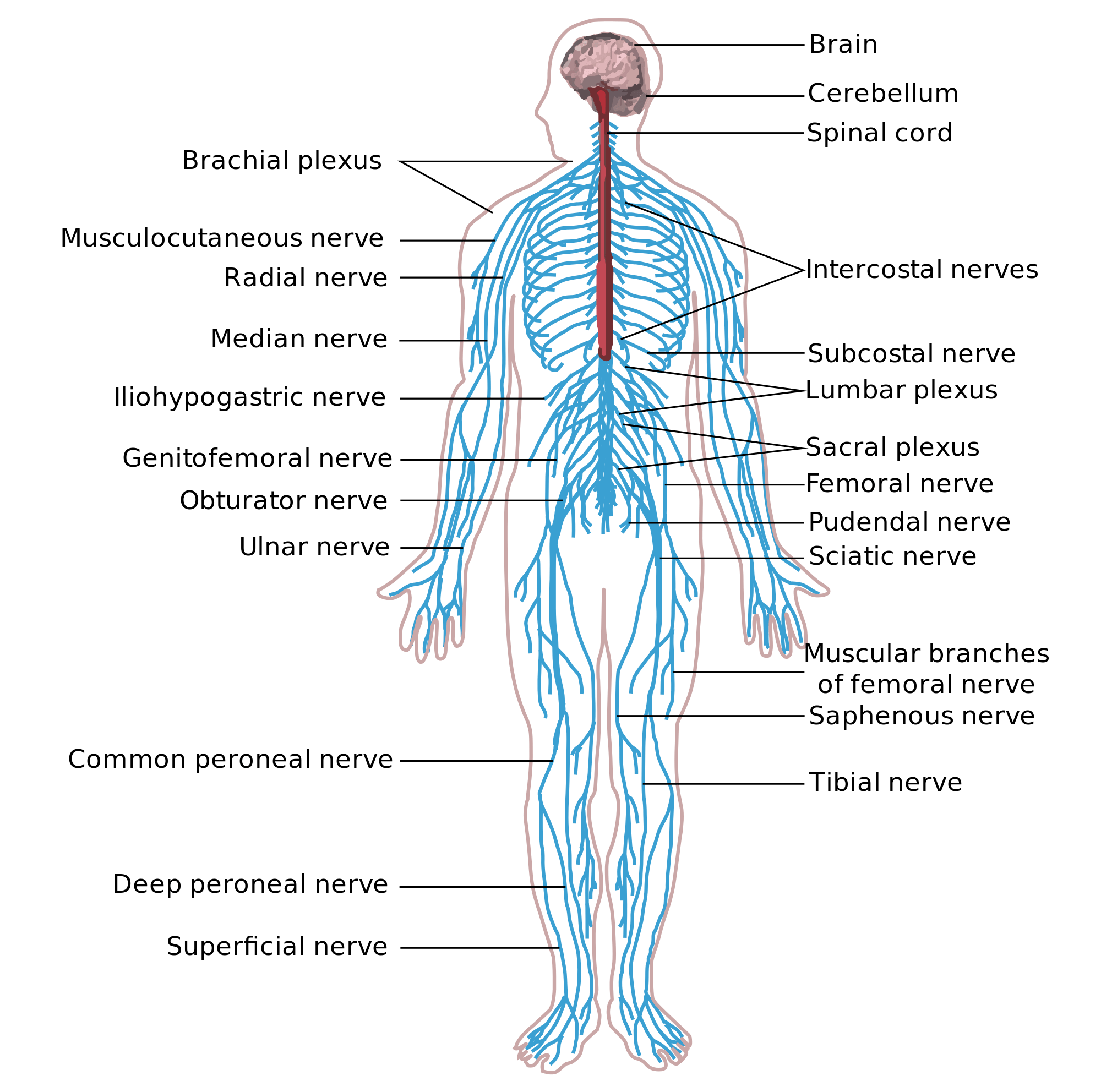 Anatomy And Physiology Understanding The Nervous System
