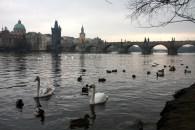 Feeding the ducks on the Vltava river looking towards the Charles Bridge
