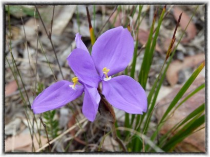 Patersonia (Native Iris)