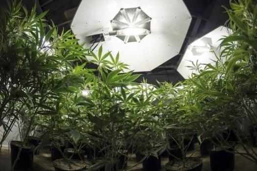 marijuana-plants-under-grow-lights-getty_large