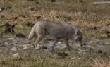 Craig the Coyote